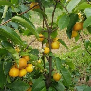 drzewa-owocowe-02