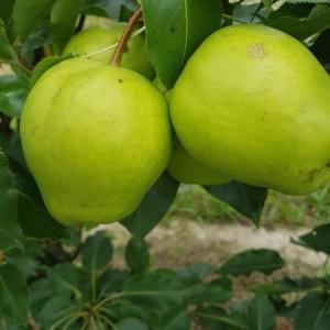 drzewa-owocowe-03
