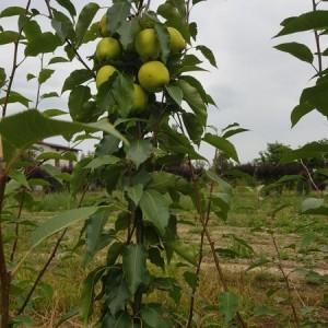 drzewa-owocowe-04