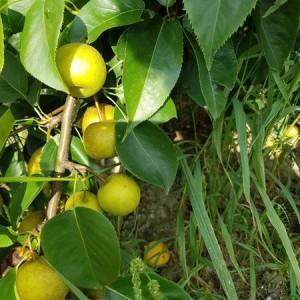 drzewa-owocowe-05