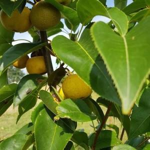 drzewa-owocowe-06