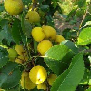 drzewa-owocowe-07