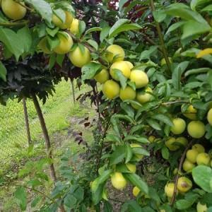 drzewa-owocowe-08