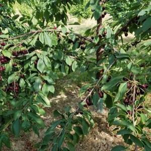 drzewa-owocowe-09