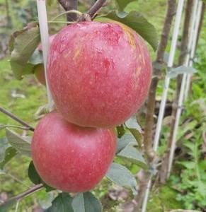 drzewa-owocowe-11