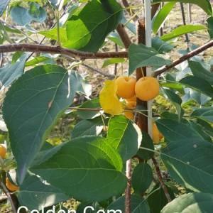 drzewa-owocowe-12