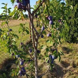 drzewa-owocowe-13