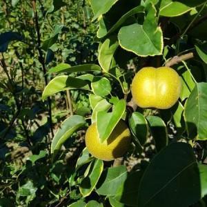 drzewa-owocowe-15