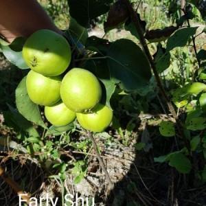 drzewa-owocowe-16