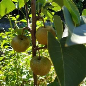 drzewa-owocowe-17