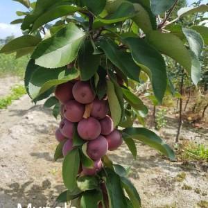 drzewa-owocowe-20