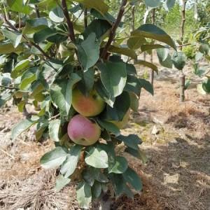drzewa-owocowe-21
