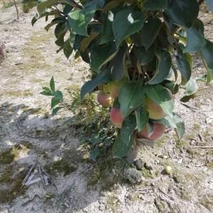 drzewa-owocowe-23