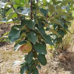 drzewa-owocowe-25