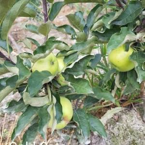 drzewa-owocowe-27