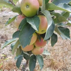 drzewa-owocowe-28