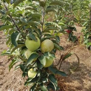 drzewa-owocowe-29