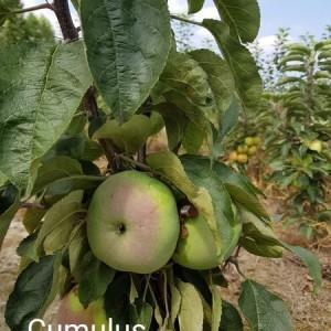 drzewa-owocowe-30