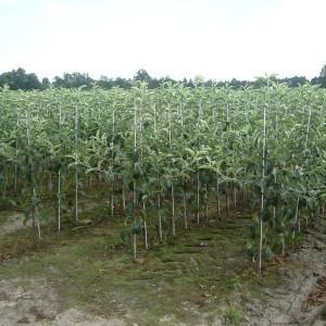 drzewa-owocowe-31