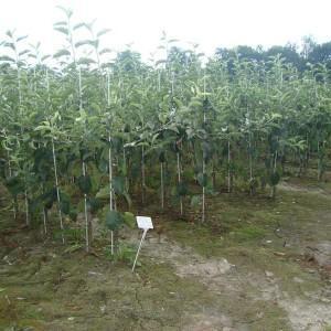 drzewa-owocowe-32