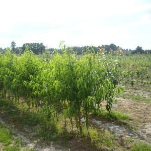 drzewa-owocowe-33
