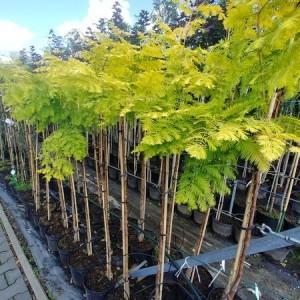 drzewa-ozdobne-05